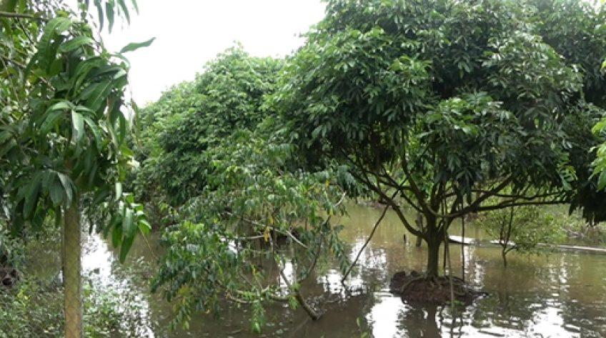 Vườn cây ngập úng do rạch thoát nước bị tắc nghẽn